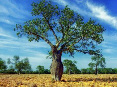 ceiba-tree